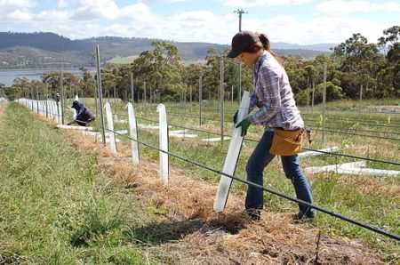 Workers adding protective covering to new  Pinot Noir plantings