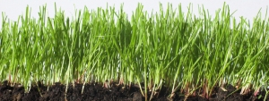 photo of thin green leaves of grass with roots showing